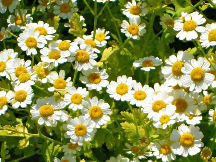 Feverfew flower | The Top Ultimate Medicinal Herbs For Your Bug Out Bag