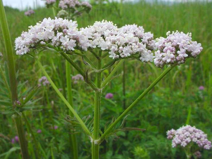 Valerian root flower | The Top Ultimate Medicinal Herbs For Your Bug Out Bag