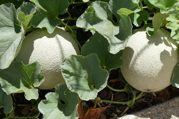 Cantaloupe   The Best Plants to Grow for your Summer Garden