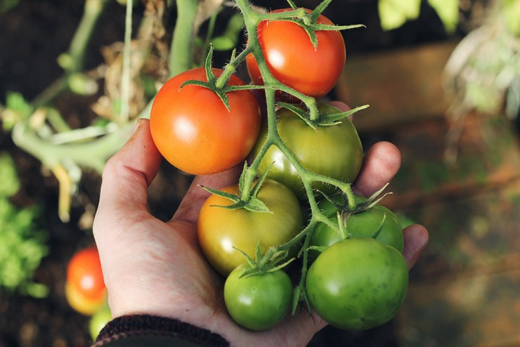 Tomatoes   The Best Plants to Grow for your Summer Garden