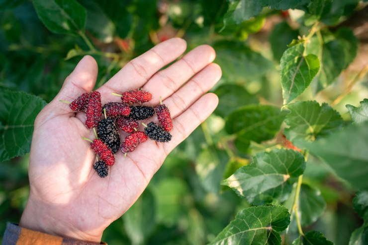 Fresh Mulberry Fruits From Mulberry Tree | Why You Should Have A Backyard Farm