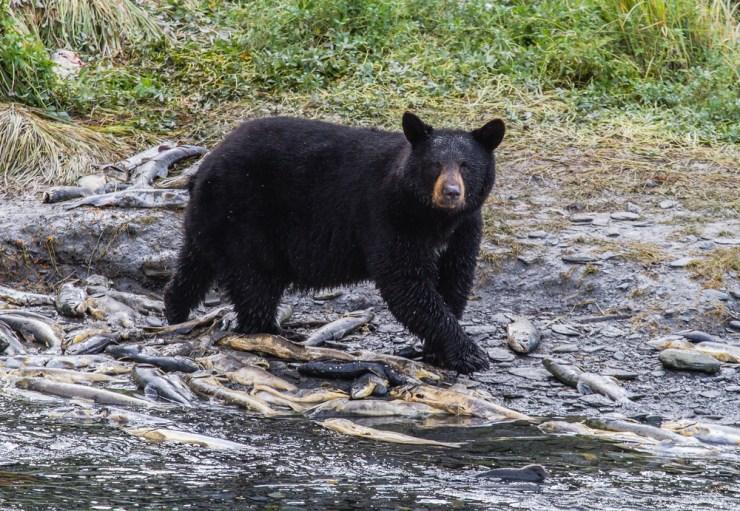 Bears | Surviving Predator Attacks