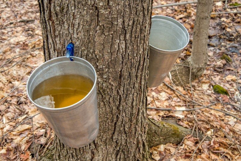 Tagging Sugar Maples to Tap Later | Making Your Own Maple Syrup: Part 1