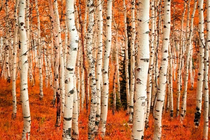 Tree Bark | Survival Foods - Edible Plant Fibers