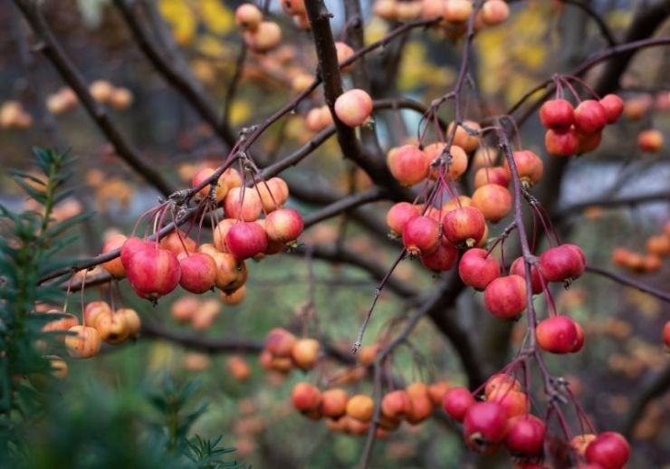 Crabapple in the autumn | Winter Foraging | Guide to Foraging Winter Survival Food