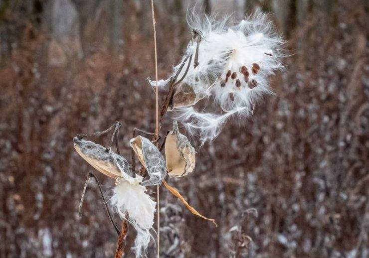 Milkweed bush with open Seed Pods | Winter Foraging | Guide to Foraging Winter Survival Food
