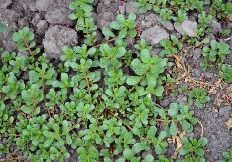 Annual herbaceous succulent plants. Purslane| purslane edible