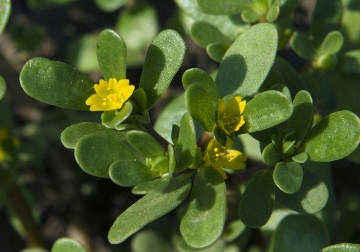 Common purslane | purslane edible