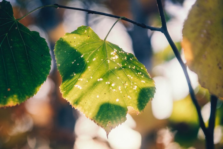 Late Summer American Basswood Leaves   tree identification idaho