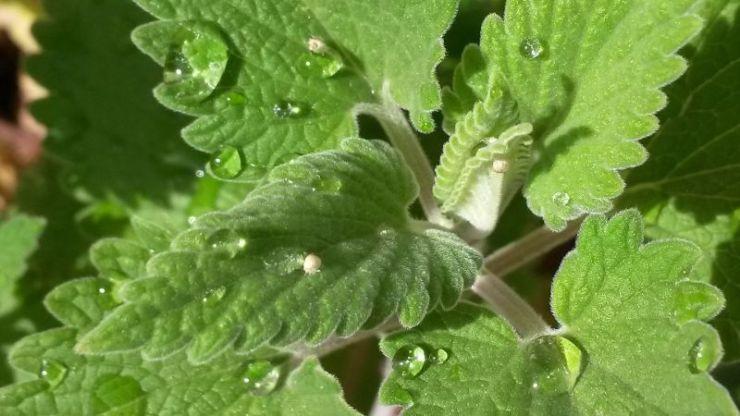 Catnip water drop | Mosquito repellent plants