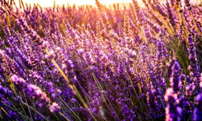 Lavender field | Mosquito repelling plants | Featured