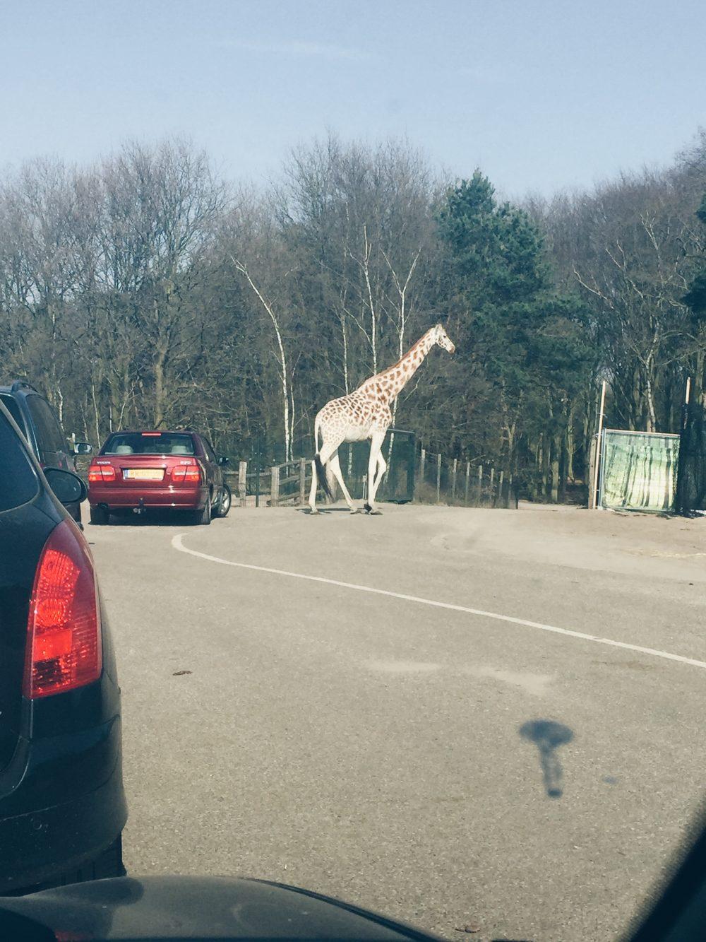 Giraf op de baan