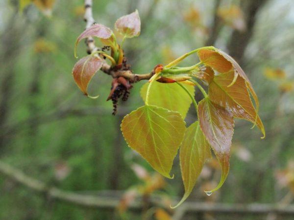 Rama de álamo con hojas nuevas.