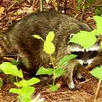 """""""Ricky Raccoon"""" and The Kids… The Good Neighbors of Little Whale Cove…"""