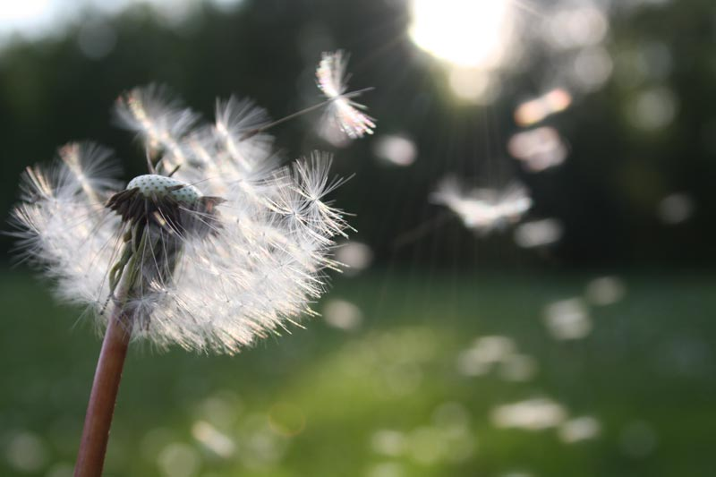 Learning To Love The Dandelions