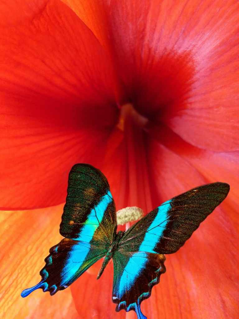 close up photo of ulysses butterfly perched on red flower