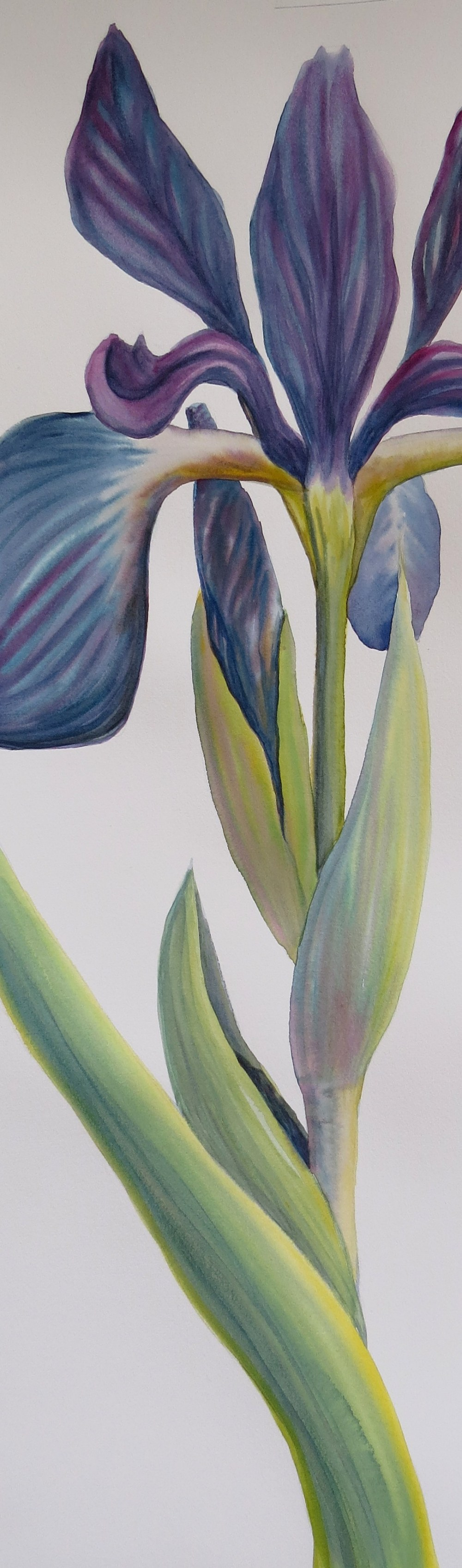 Spring Iris – Image © Susan Bartel. All Rights Reserved.