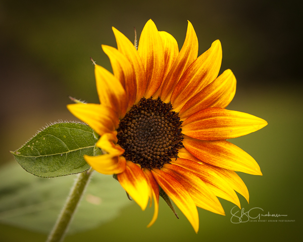 Sunflowers of August