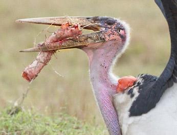 marabou-stork-103