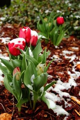 Spring Snow 7