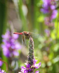 Dragonfly on Purple Loosestrife