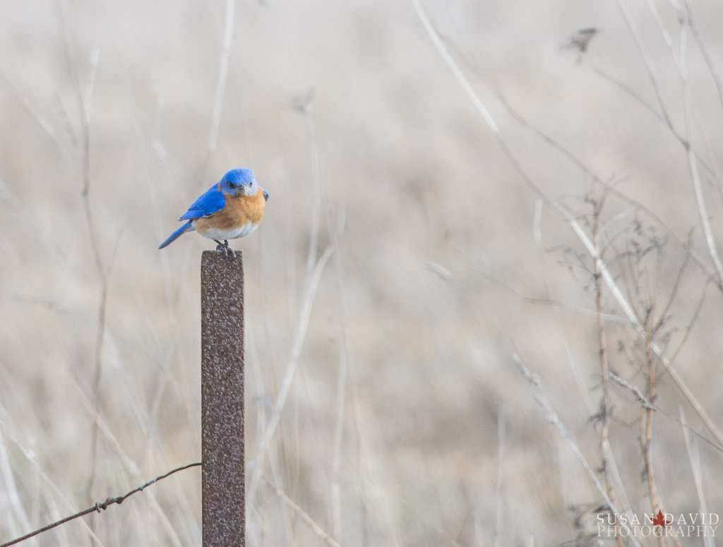 Male-Eastern-Bluebird.jpg