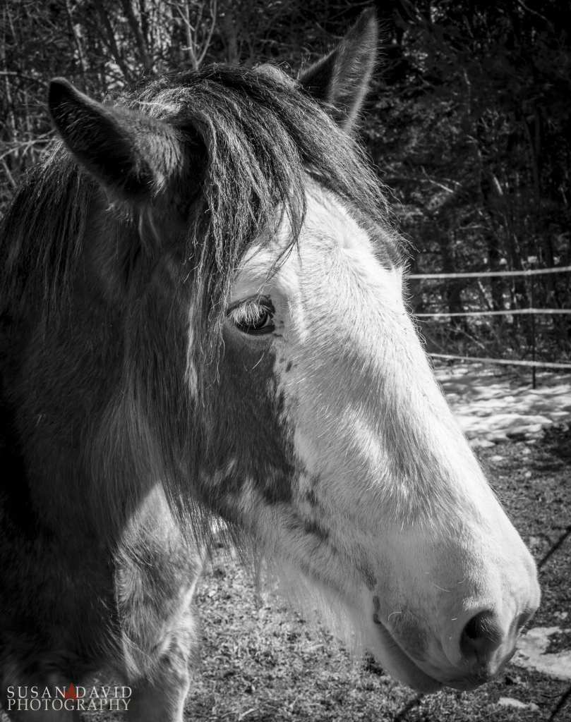 Young Clydesdale