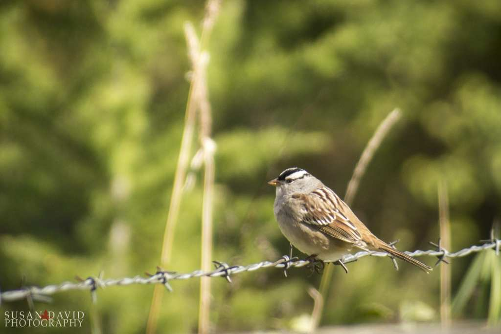 White-Crowned-Sparrow.jpg