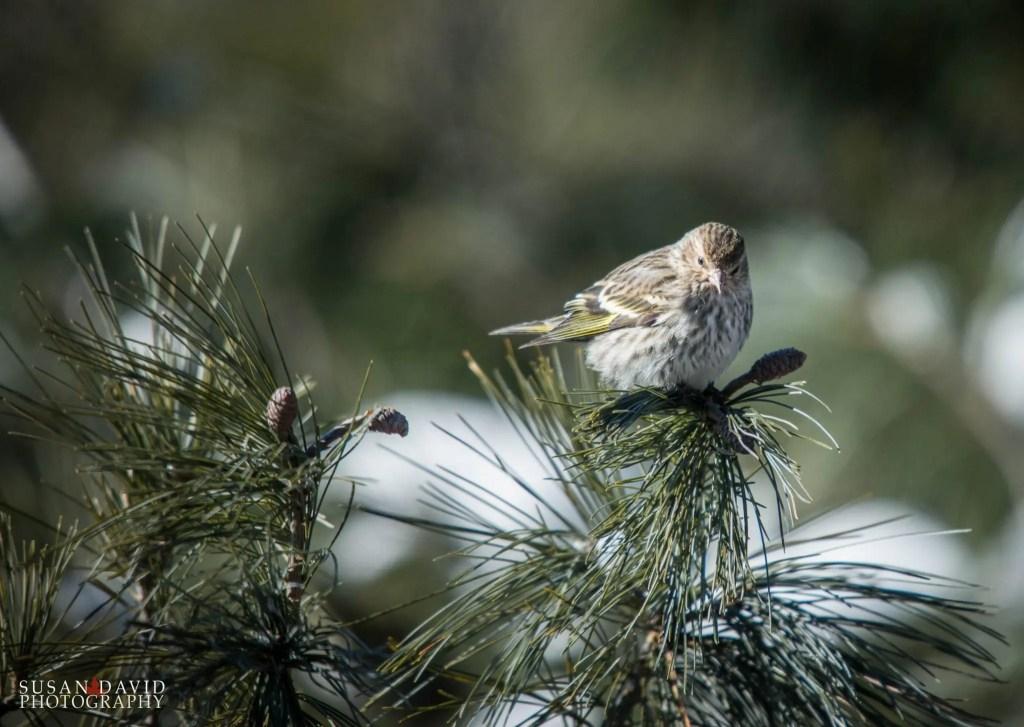 Pine-Siskin.jpg