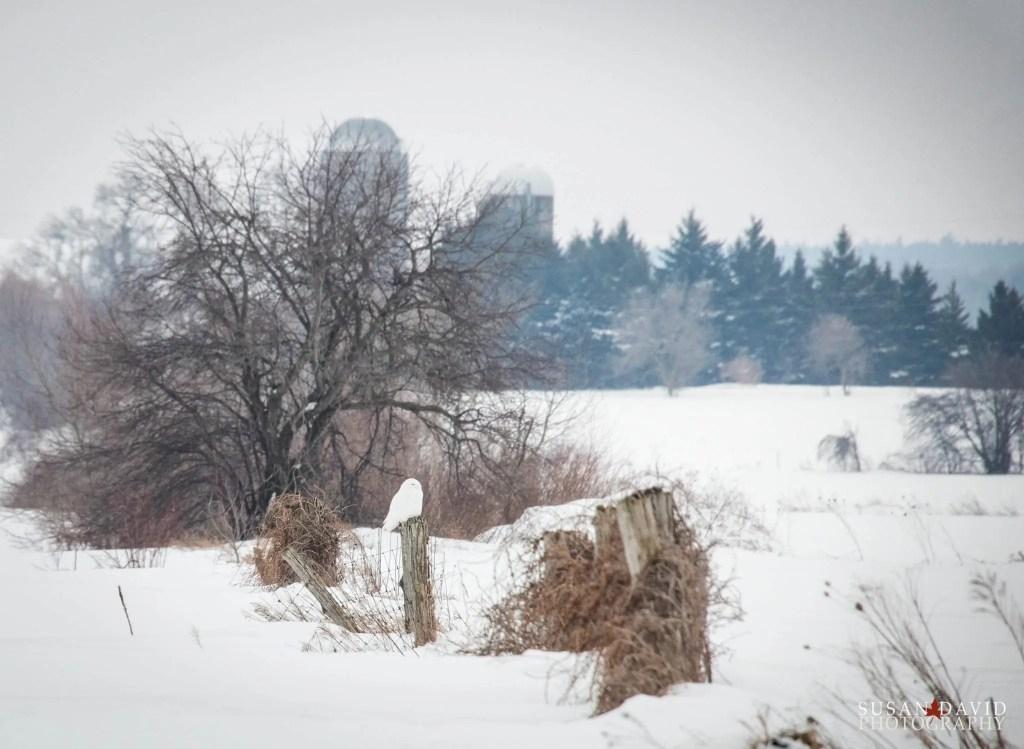 Snowy-Owl.jpg
