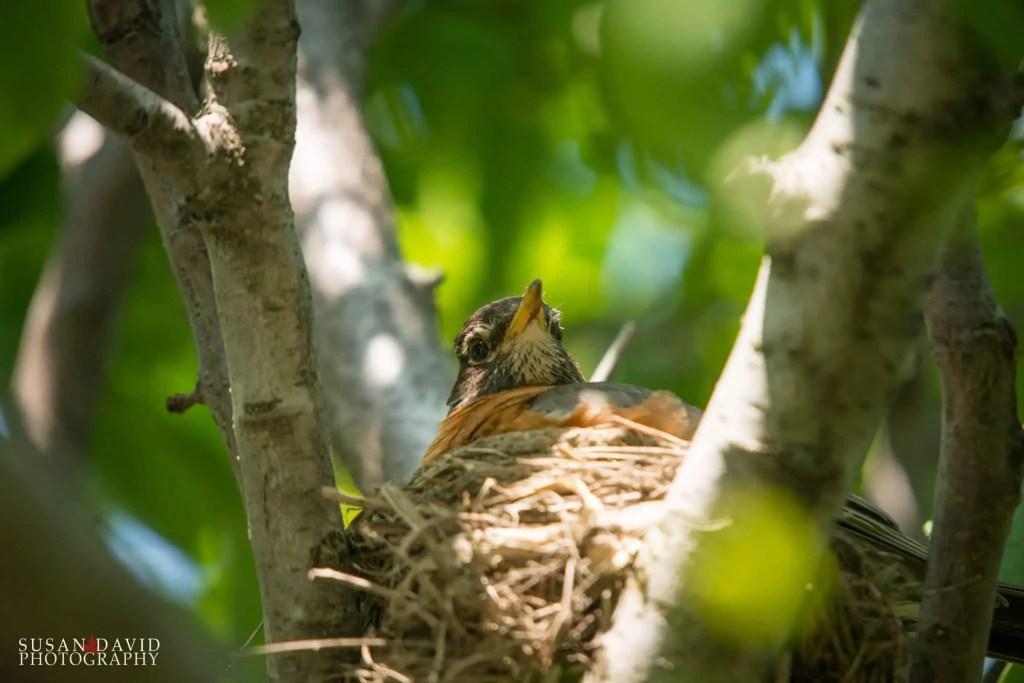 Robin Nesting