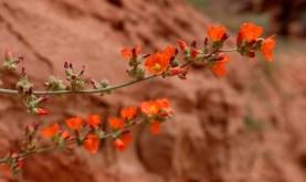 Wildflower at Buckskin Gulch