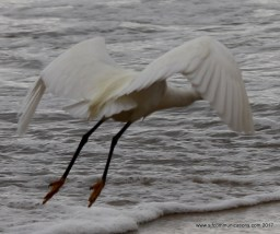 Egret Beauty!