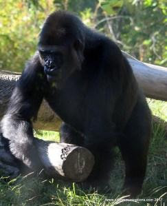 Gorilla at the San Diego Zoo