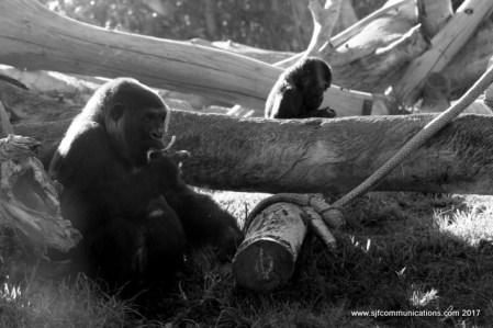 Gorillas at the San Diego Zoo