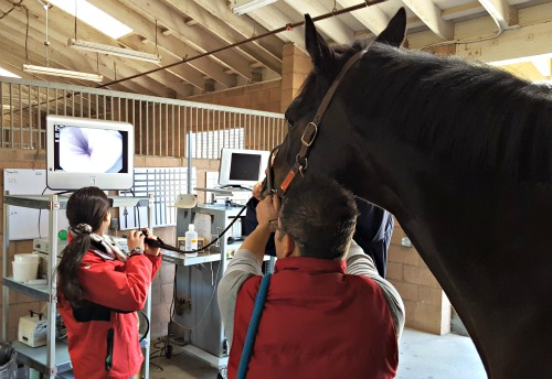 scoping a horse