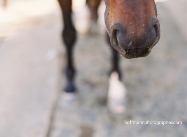 Make friends with a Thoroughbred and you too can kiss an adorable nose like this. (Photo Credit: Horses Who Love)
