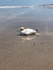 gannet on beach