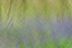 Susan Guy_Calke Abbey_Bluebells_Abstract_27.04.16_7 c