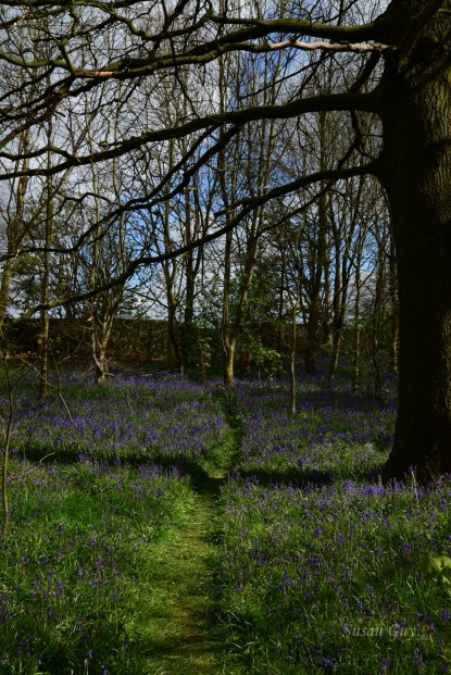 Susan Guy_Calke Abbey_Bluebells_Serpentine Wood_27.04.16_2 c