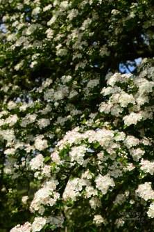 Susan Guy_Lyveden_Garden_Hawthorn_17.05.16_2 c