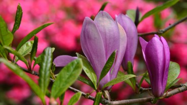 Susan Guy_Stoneywell_Garden_Magnolia_19.05.15 (1 w