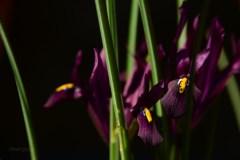 Susan Guy_Calke Abbey_Garden_Iris_09.03.17_1 c