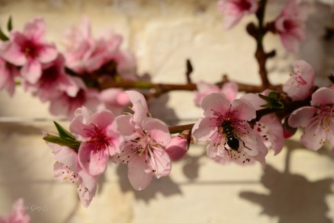 Susan Guy_Calke Abbey_Peach house_Blossom_09.03.17_9 c