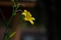Yellow miniature daylily