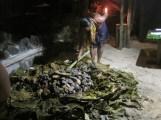 Preparing the umu, Tisa's, American Samoa