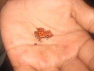 het beroemde rode kikkertje van Bastimiento