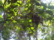 nest wilde chimps
