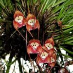 Monkey Orchids