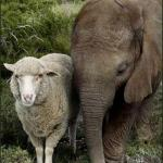 Sheep compassion